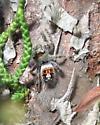 What species of jumping spider is this? - Phidippus californicus - female