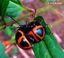 Swamp milkweed leaf beetle - Labidomera clivicollis - male - female