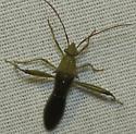 Bug at Moth Lights  - Hyalymenus longispinus