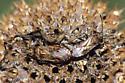 True bugs on Monarda fistulosa seed head - Neortholomus scolopax - male - female