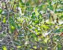 spider - Argiope trifasciata