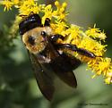 Bee - Xylocopa virginica