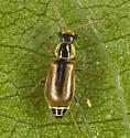 Small Beetle  - Attalus scincetus