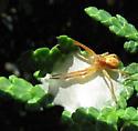 What spider please - Philodromus