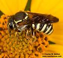 Bee - Paranthidium jugatorium