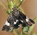 Small butterfly or moth - Tyta luctuosa