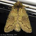 Wavy-Lined Heterocampa - Hodges#7995 - Heterocampa biundata