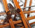 Another bee fly - Neodiplocampta miranda
