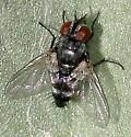 fly, black, red eyes