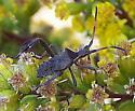 leaf footed bug nymph - Leptoglossus