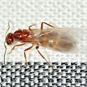 Alate Pyramid Ant - Dorymyrmex bureni - female