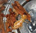 large termite #2968 - Zootermopsis