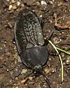 Flat Beetle - Heterosilpha ramosa