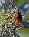 Wasp 416A 6408 & 6417 &6414 - Ceropales robinsonii