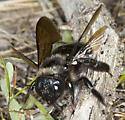 Female carpenter bee from NW Yosemite - Xylocopa californica - female