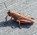 Grasshopper ..  Nymph? - Melanoplus differentialis