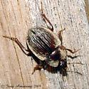 Beetle 03.17.2009 189 - Necrophilus pettiti