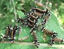 Milkweed Tussock Moth Caterpillars (Euchaetes egle)? - Euchaetes egle
