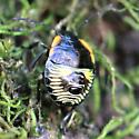Green Stink Bug nymph - Dorsal - Chinavia hilaris