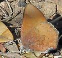 Brown Elfin - Callophrys augustinus