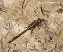 Dragonfly - Phanogomphus lividus