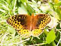Unknown Butterfly - Speyeria cybele