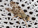 Fly With White Spotted Wings - Campiglossa albiceps - female