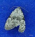 Moth june 25 - Meganola minuscula