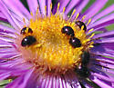 Shining Flower Beetles - Olibrus