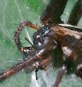 hosta spider 1095