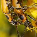 mating pair - Chauliognathus pensylvanicus - male - female