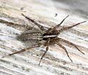 Grass Spider - Agelenopsis - female