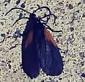 Black winged bug w/brown on wings  - Pyromorpha dimidiata