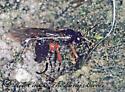 1284933 Ichneumonoid - Pimpla - female