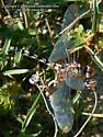 Checkered Setwing - Dythemis fugax - female