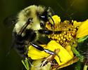 Bumblebee 2 - Bombus impatiens - male