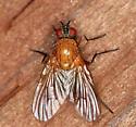 Pegomya? Root Maggot Fly