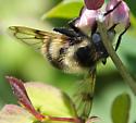 Bee-mimic Syrphid - Volucella bombylans-complex