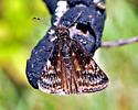 Erynnis lucilius