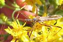 Assassin bug - Zelus tetracanthus