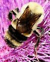 Bombus bimaculatus - Two-spotted Bumble Bee Male - Bombus bimaculatus - male