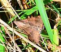 tan moth - Caenurgina erechtea