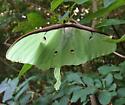 Actias luna - Luna Moth - Hodges#7758 - Actias luna - female
