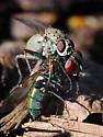 Predatory Fly? - Coenosia tigrina