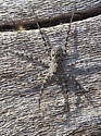 Ramsey Canyon Spider - Pardosa