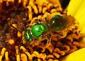 Green Bee on Bush Sunflower (Encelia californica)  - Augochlorella pomoniella - female