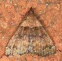 Moth - Lascoria ambigualis - female