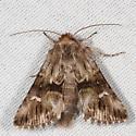 moth - Calophasia lunula