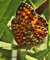 Small orange/brown/white butterfly - Boloria selene
