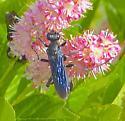 What wasp please - Sphex pensylvanicus